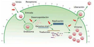 Figura 9.1. El ciclo infectivo parte de una partícula viral preexistente, completamente formada (virión), que infecta una célula. El primer paso, el reconocimiento de este por las moléculas receptoras de la superficie de la célula hospedadora, viene seguido de la internalización de la partícula en la célula, en donde se libera el genoma viral. A partir de este momento, el virus parental deja de existir como complejo macromolecular y solo persiste el genoma, junto a alguna proteína que pueda ser requerida para esta fase intracelular del ciclo. Seguidamente se da la replicación, transcripción del genoma y la síntesis de las nuevas proteínas virales, requeridas para formar la progenie. Las proteínas recién sintetizadas se autoensamblan formando nuevas cápsides y empaquetando en su interior el genoma. El proceso finaliza con la liberación de los nuevos viriones, preparados para una nueva infección. Las flechas rojas señalan las dianas potenciales para el desarrollo de moléculas antivirales.